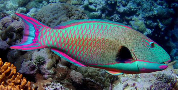Les poissons-perroquets magiciens du récif
