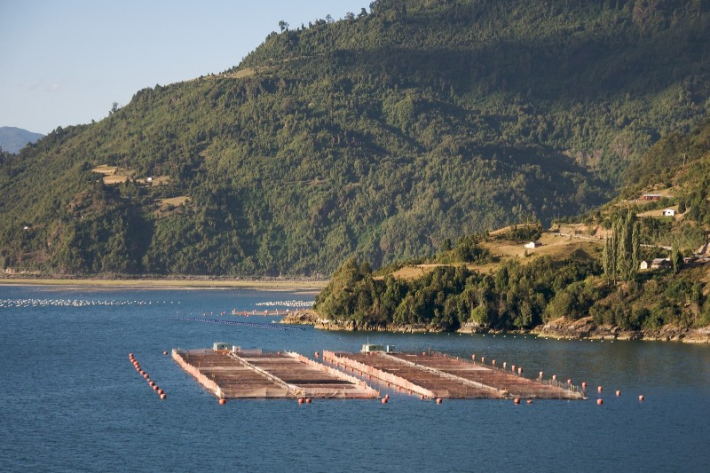 Chile : Thousands of salmon treated with antibiotics escape
