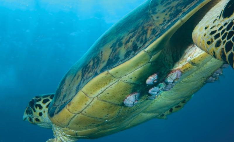 Cirripèdes attachés à une tortue